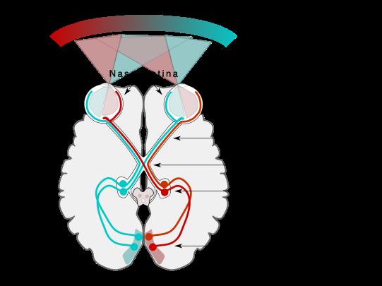 Human Visual Pathway