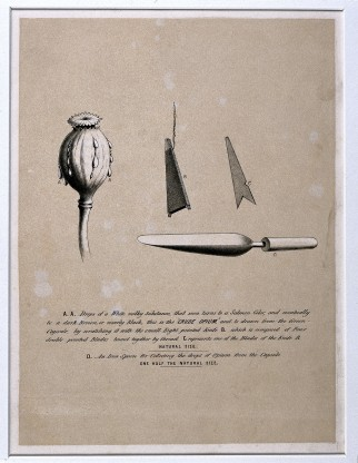 V0019157 A poppy capsule oozing drops of crude opium and tools for it