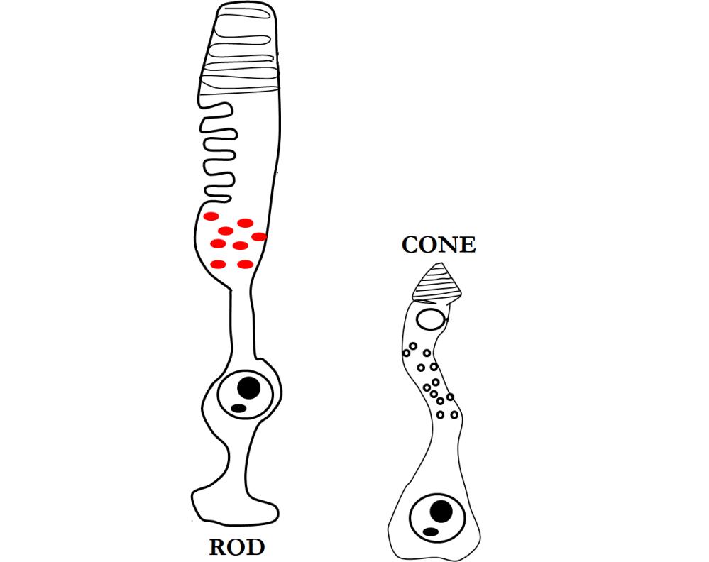 Rods + Cones
