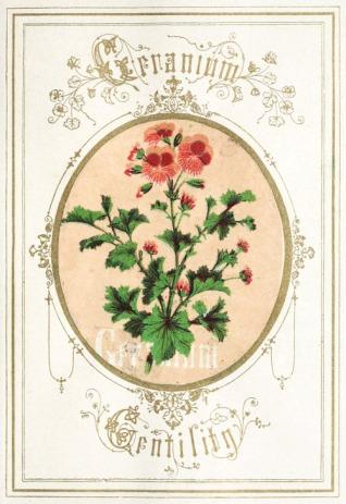 Victorian Geranium