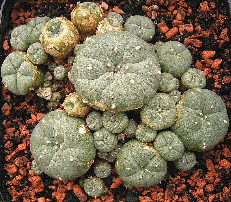 Lophophora